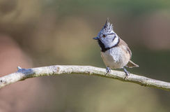 Crested Tit on branch Royalty Free Stock Photo