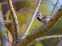 Crested Tit on branch. The Crested Tit (Lophophanes cristatus) is easy to identify if we see it's erected feathers on the forehead Royalty Free Stock Photo