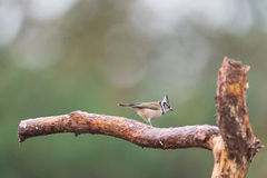 Crested tit on branche Stock Photography