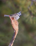 Crested Tit on broken branch Stock Image
