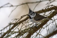 Crested tit eating nuts, Sweden stock photos
