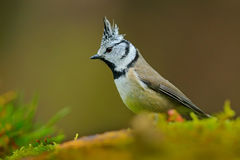 Crested Tit, cute songbird with grey crest sitting on beautiful yellow lichen branch with clear green background, nature habitat,. Czech Stock Photos