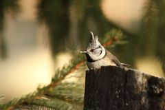 Crested tit eating bread Royalty Free Stock Photo