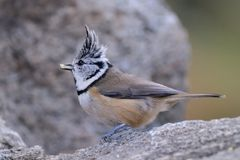 Crested Tit eating a seed. Crested Tit, Lophophanes cristatus (formerly Parus cristatus)  eating a seed Stock Images