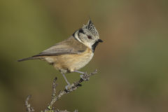 Crested Tit, (European Crested Tit) Stock Photos