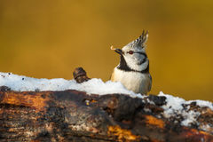 Crested tit in the forest Royalty Free Stock Image