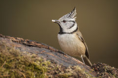Crested tit in the forest Stock Photo