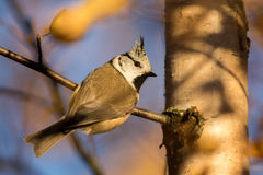 Crested Tit. Hanging on a branch in autumn Stock Photo
