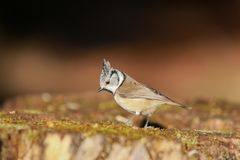 Photo of lovely crested tit, beautiful, colorful environment. Crested tit has lunchtime.Lol Stock Images
