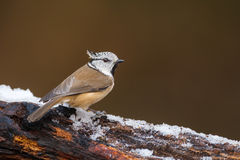 Crested tit on an icy morning Royalty Free Stock Photography