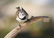 Crested Tit, Kuifmees, Lophophanes cristatus. Crested Tit perched on branch; Kuifmees zittend op tak stock image