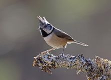 Crested Tit on a Lichen covered perch. At Loch Garten,Scotland Stock Images