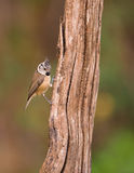 Crested Tit on log. A Crested Tit (Lophophanes cristatus)  climbs on a vertical tree log Stock Image