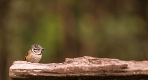 Crested Tit on a log. A Crested Tit (Lophophanes cristatus)  sits on a wooden log Royalty Free Stock Photos