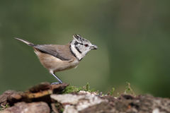 Crested tit, Lophophanes Royalty Free Stock Photos
