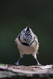 Crested tit, Lophophanes Stock Images