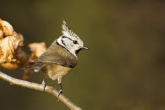 Crested tit (Lophophanes cristatus). Crested tit in autumn colors Royalty Free Stock Photography