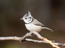 Crested Tit (Lophophanes cristatus) Royalty Free Stock Photos