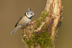 Crested tit, lophophanes cristatus, looking for food Stock Image