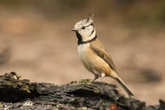 Crested Tit, Lophophanes cristatus. Lophophanes cristatus, the Crested Tit. A songbird royalty free stock images