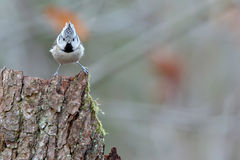 Crested Tit. Lophophanes cristatus. Parus cristatus. Royalty Free Stock Photos