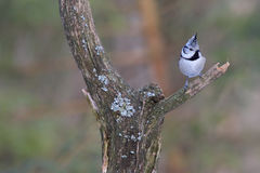 Crested Tit. Lophophanes cristatus. Parus cristatus. Royalty Free Stock Photography