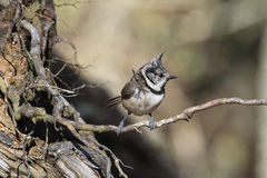 Crested Tit Lophophanes cristatus sitting on a thin tree root. Stock Photos