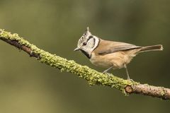 Crested Tit, Lophophanes cristatus. Lophophanes cristatus, the Crested Tit. A songbird stock image