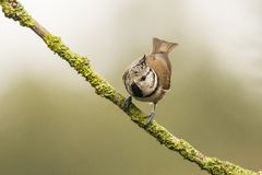 Crested Tit, Lophophanes cristatus. Lophophanes cristatus, the Crested Tit. A songbird stock photography