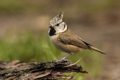 Crested Tit, Lophophanes cristatus. A songbird. Lophophanes cristatus, the crested tit, is a songbird with a beautiful crest royalty free stock image