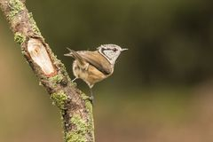 Crested Tit, Lophophanes cristatus. A songbird. Lophophanes cristatus, the crested tit, is a songbird with a beautiful crest royalty free stock photo