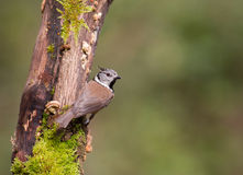 Crested Tit on moss log Royalty Free Stock Photo