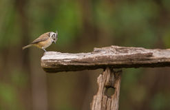 Crested Tit on old log. A Crested Tit (Lophophanes cristatus)  perches on an old wooden structure Stock Photo