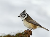 Crested tit (Parus cristatus) Royalty Free Stock Photo