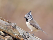 Crested Tit (Parus cristatus) Royalty Free Stock Photos