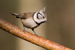 Crested Tit (Parus cristatus).  Royalty Free Stock Photo
