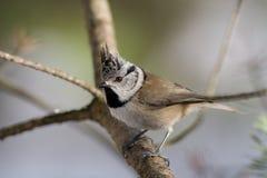 Crested Tit (Parus cristatus)