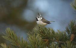 Crested tit, Parus cristatus Stock Photos