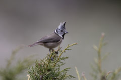 Crested tit, Parus cristatus Royalty Free Stock Photos