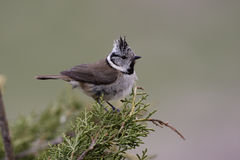 Crested tit, Parus cristatus Royalty Free Stock Photography