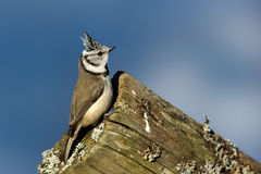 Crested Tit (Parus cristatus) on the edge Stock Photography