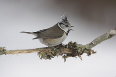 Crested tit, Parus cristatus Royalty Free Stock Photo