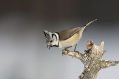 Crested tit, Parus cristatus Stock Image