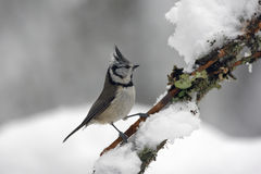 Crested tit, Parus cristatus Stock Photography