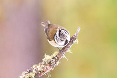 Crested tit (Parus cristatus) Stock Photography