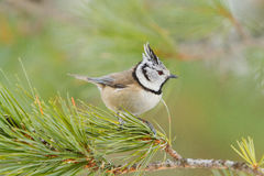 Crested tit (Parus cristatus) Royalty Free Stock Photography