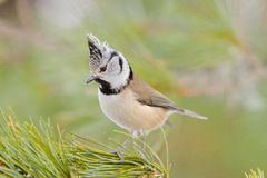 Crested tit (Parus cristatus) Royalty Free Stock Images
