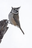 Crested Tit Royalty Free Stock Photos