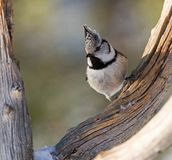 Crested Tit, Kuifmees, Lophophanes cristatus. Crested Tit perched on branch; Kuifmees zittend op tak stock photos