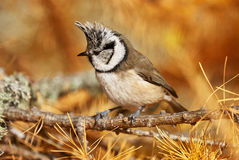Crested tit. Perched on a branch of larch in autumn Stock Photo